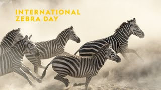 National Geographic International Zebra Day