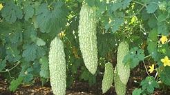 109-How to grow KARELA /Bitter Gourd /Bitter Melon  at home (Hindi /Urdu) 9/8/16