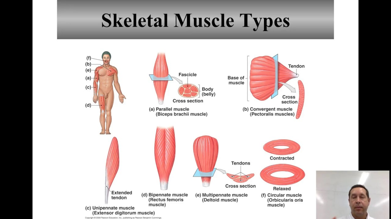 Skeletal muscle types and names youtube skeletal muscle types and names ccuart Image collections