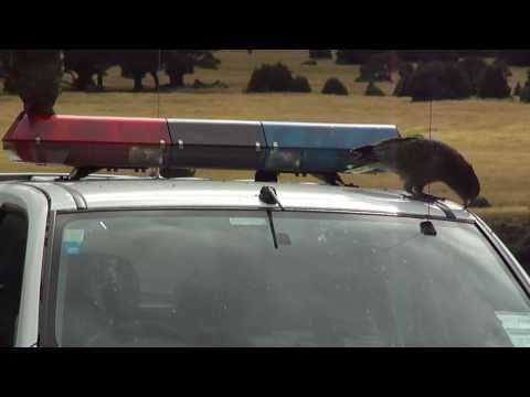 Kea destroying police car