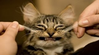 Best Funny crazy cat - TOP Funny cat and kitten videos Compilation 2016