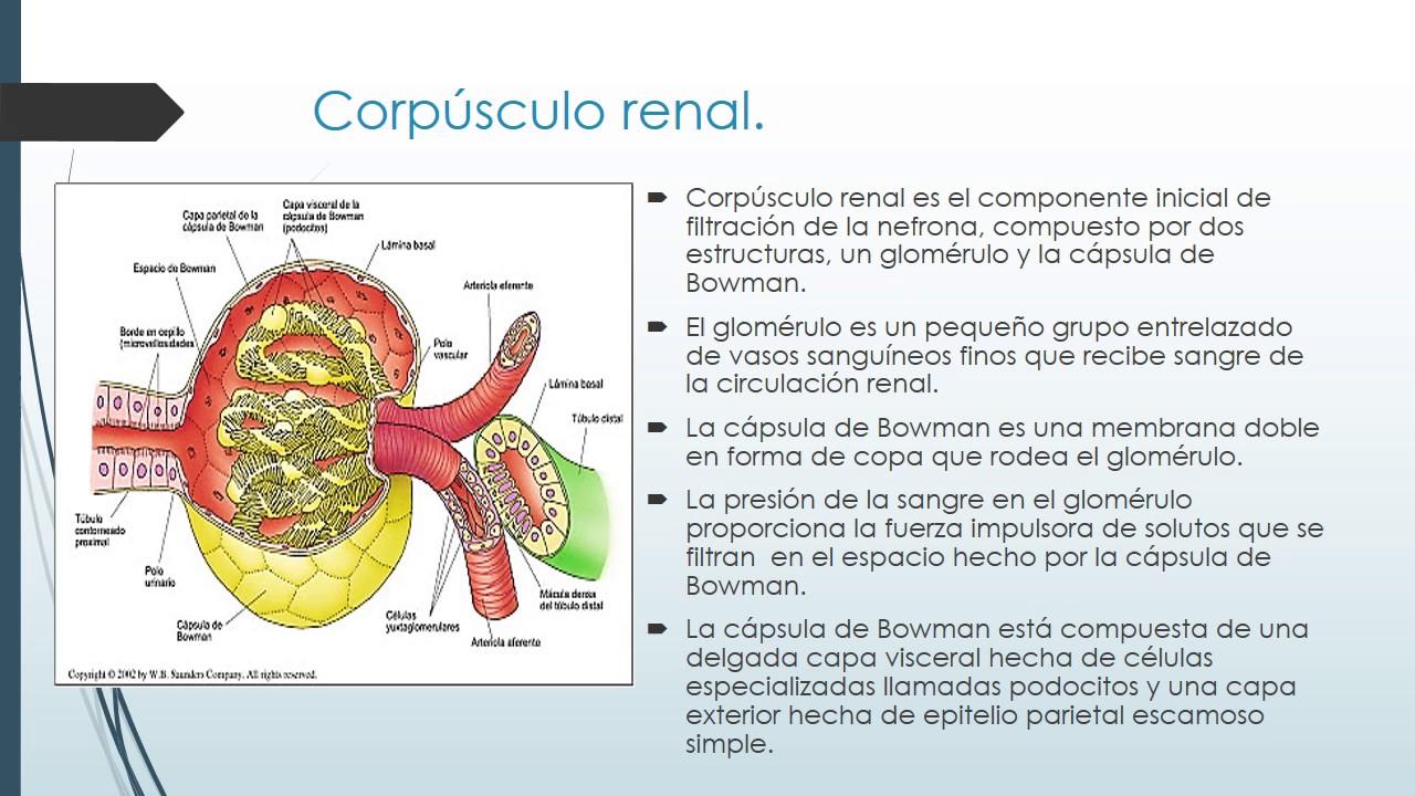 Nefrona Fisiología renal - YouTube