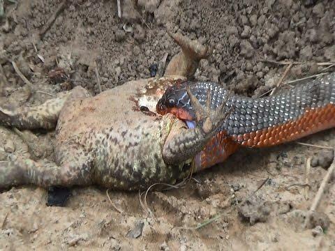 Boiruna maculata, Cobra e o sapo, Animais peçonhentos,