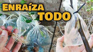 ENRAÍZA CUALQUIER PLANTA RÁPIDO | Ramas de ÁRBOLES Frutales, Cítricos y Enraizar Esquejes
