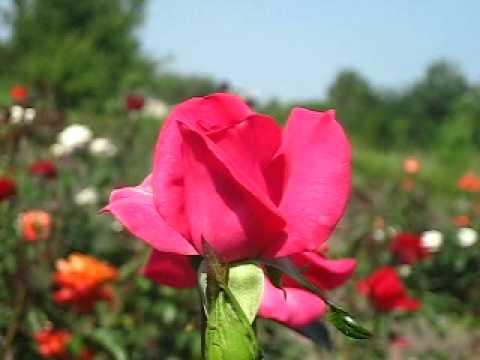 Цветы. Розы. Ланкоме.