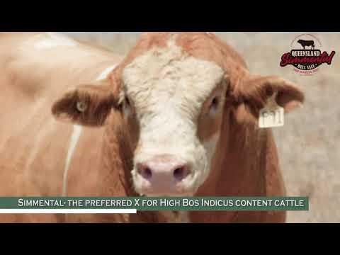 Queensland Simmental Bull Sale - Promo Video