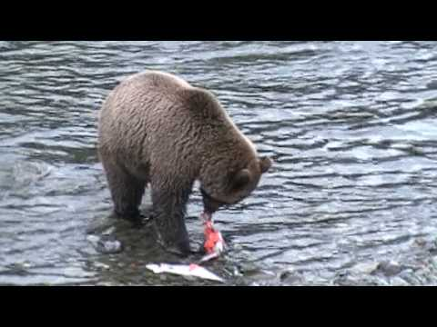 Grizzly Bear -- Salmon Thief - Stringer robbery on the Kenai / Russian River Alaska