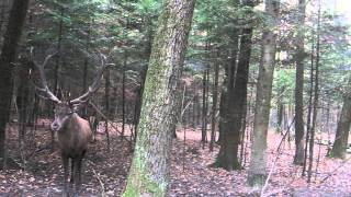 Олень кричит_Screaming Deer