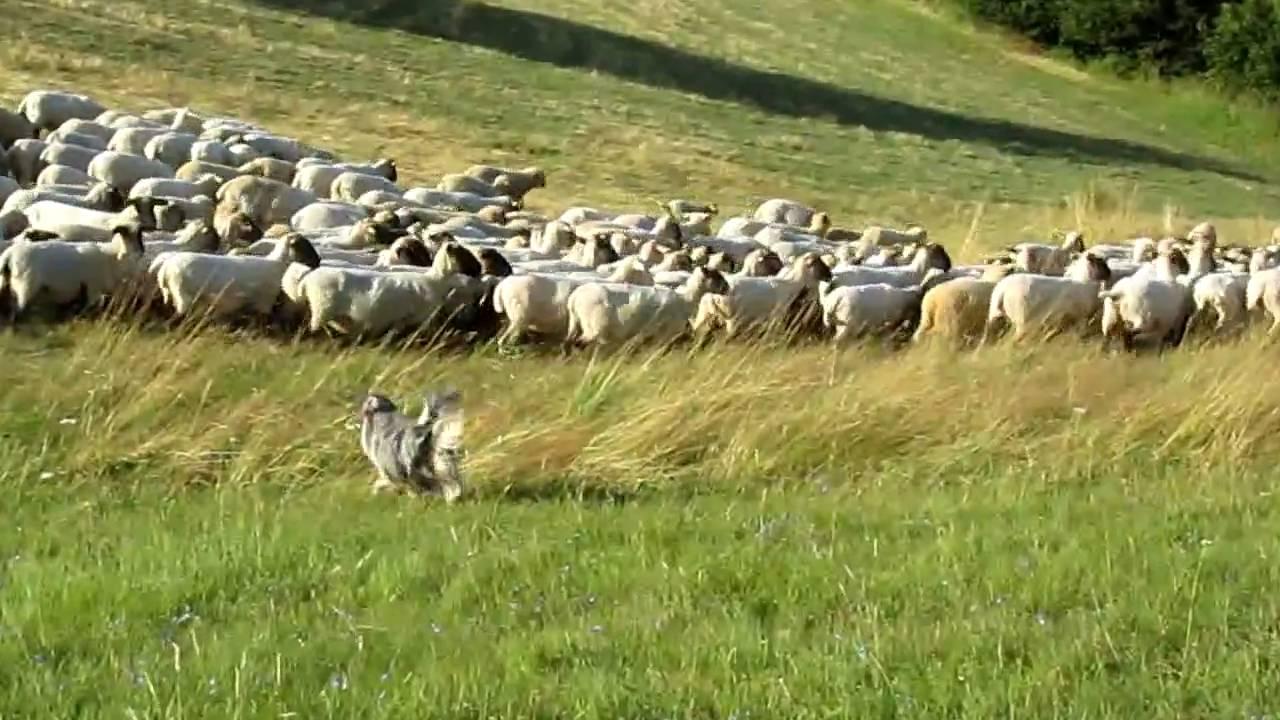 herding  miniature australian shepherd  u0026quot charlie u0026quot  - schafe h u00fcten  1  mal