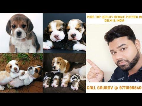 Beagle Puppies For Sale In Delhi, India || 9711696640 ||