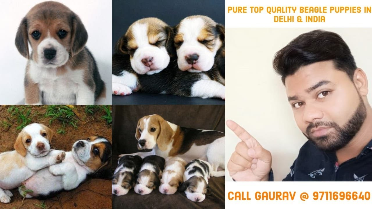 Beagle Puppies For Sale In Delhi India 9711696640 Youtube