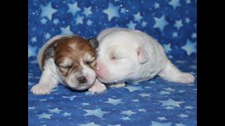 Coton de Tulear Puppies For Sale - Jolie 1/14/20