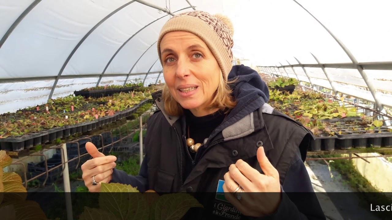 Come Far Fiorire Le Ortensie 4 motivi per cui l'ortensia non fiorisce