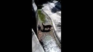 Tiger Killed Man Real video Delhi incident