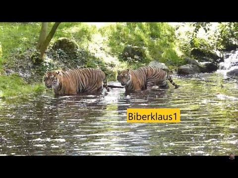 2 Sumatra Tiger spielen im Wasser mit einem Baumstamm . Zoo Augsburg Panthera tigris