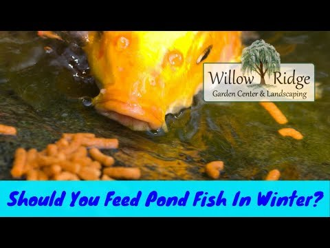 Should You Feed Pond Fish In Winter?