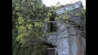 Roosting Male Barn Owl