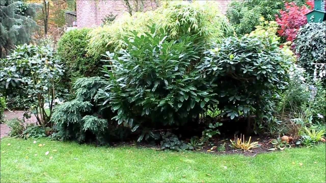 kirschlorbeer umpflanzen newwonder555 youtube. Black Bedroom Furniture Sets. Home Design Ideas