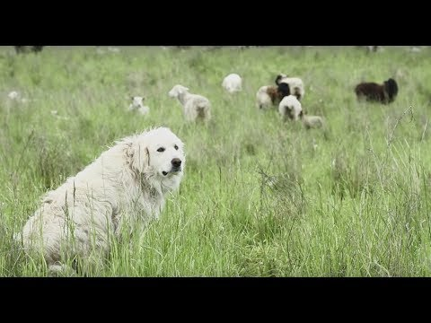 Livestock Guardian Dogs: Working on Common Ground