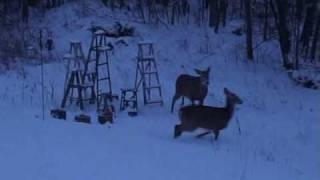White Tail Deer At Bird Feeder Outside Ottawa, Ontario, Canada
