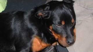 Bristol: Our Rottweiler Puppy At 6 Months Old
