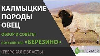 Калмыцкая порода овец. Содержание и особенности в хозяйстве Березино.