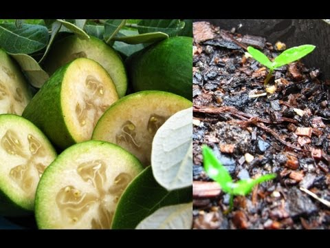 How To Grow Feijoa's From Seed.