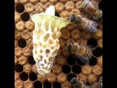 Raising Queen Bees Youtube