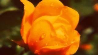 Fristail - Желтые Pозы