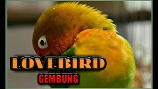 Mengerti  Lovebird Tidak Mood Kurang Enak Badan Atau Lovebird Stress Karena Over Birahi.