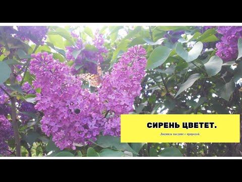 Цветет сирень.В мае цветет сирень.