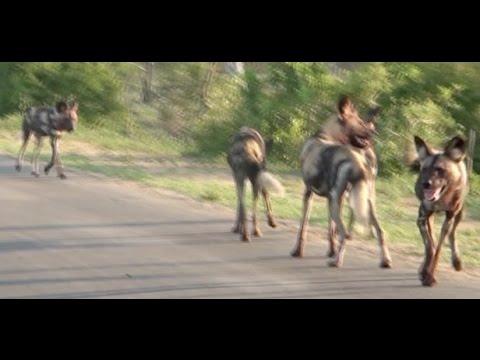 Wild Dogs Calling | Kruger National Park