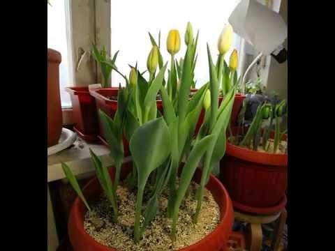Tulips timelapse
