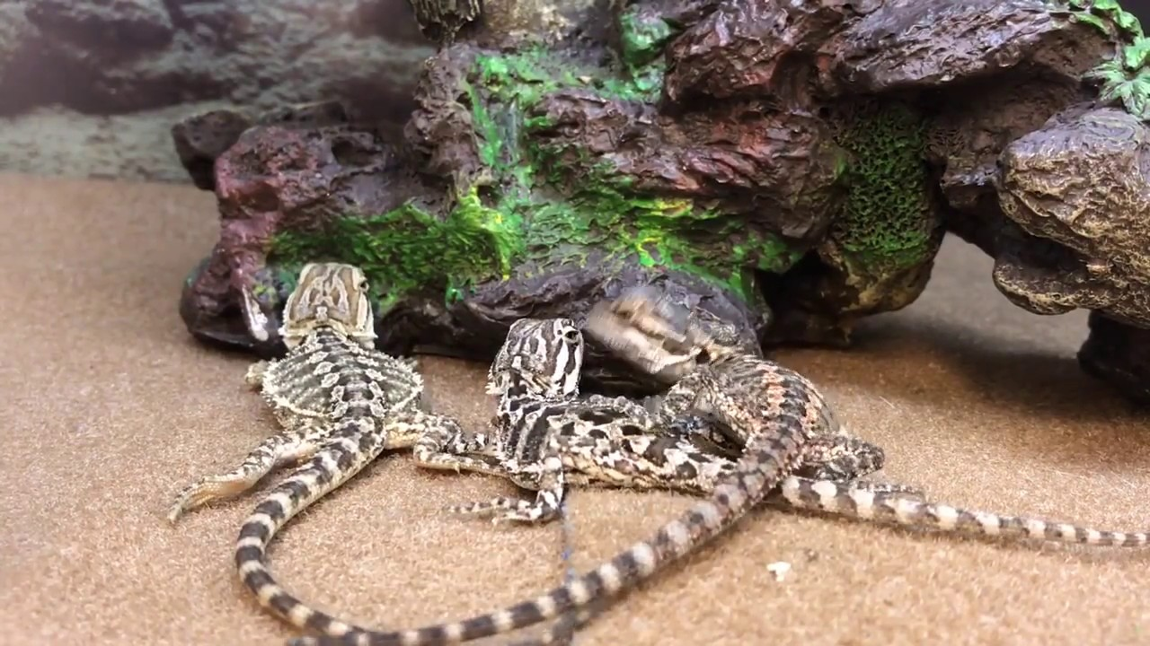 Baby Bearded Dragon Lizards Reptiles at Petco Store Pet Shop ~ Lizard Licks