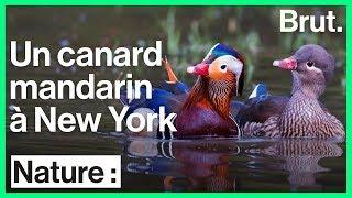 Un canard mandarin à New York