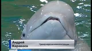 """""""Шоу белых китов"""" приглашает красноярцев на концертную программу североморских животных"""