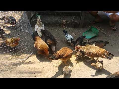 Peruvian chicken breeding farmsកសិដ្ឋានបង្កាត់ពួជមាន់ ប៉េរូ