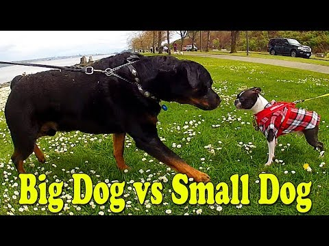Puppies Meet Big 130 Pound Rottweiler Dog Captain