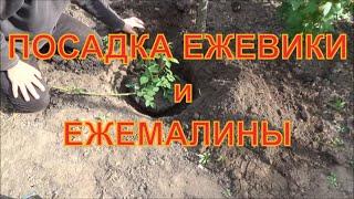 Посадка ежевики.(Если возникает вопрос как посадить ежевику или ежемалину, посмотри это видео, и все узнаешь. Нет ничего..., 2016-05-16T16:25:07.000Z)