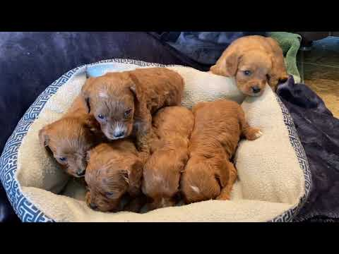Hattie's F1 Cavapoo Puppies