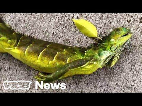 why-it's-literally-raining-iguanas-in-south-florida