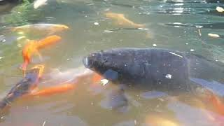 How to get koi carp to grow bigger faster