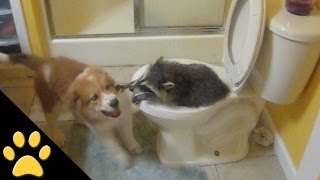 Cute Puppy And Raccoon Play In Toilet