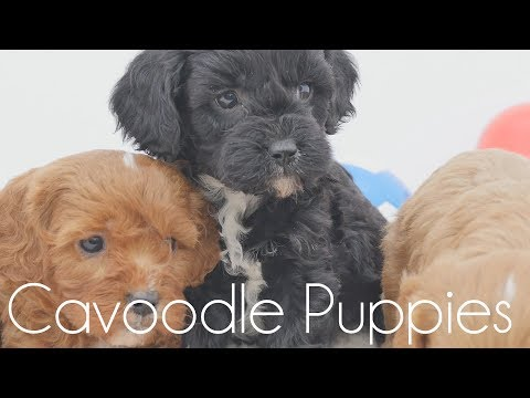 Toy Cavoodle puppies on white blanket