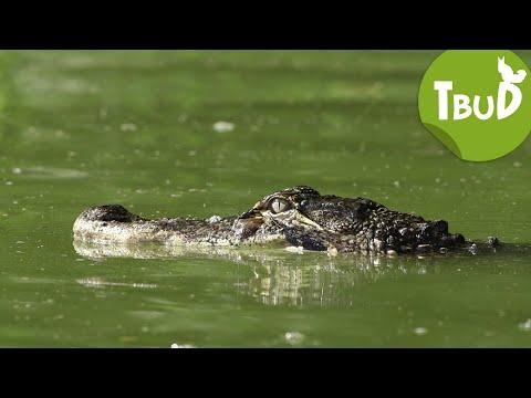 Krokodilstränen (Folge 50)   Tiere bis unters Dach   SWR Kindernetz