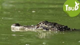 Krokodilstränen (Folge 50) | Tiere bis unters Dach | SWR Kindernetz