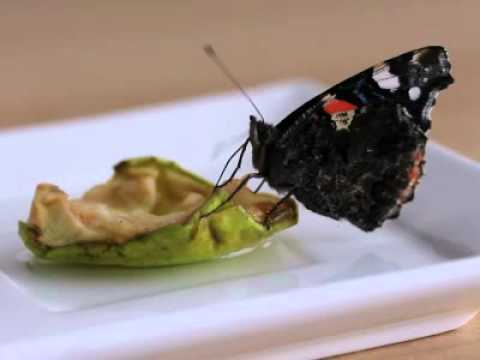 Papillon qui mange youtube - Que mange les punaises ...