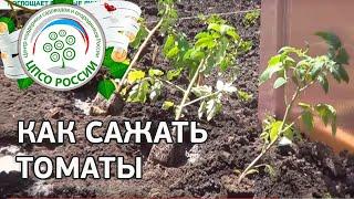 Как посадить томаты в открытый грунт.(В этом видео мы сажаем томаты на постоянное место в открытый грунт. Из нового ролика проекта