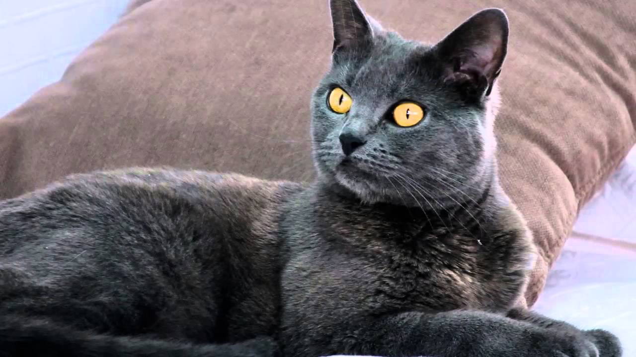 s of my cat breed Chartreux cat