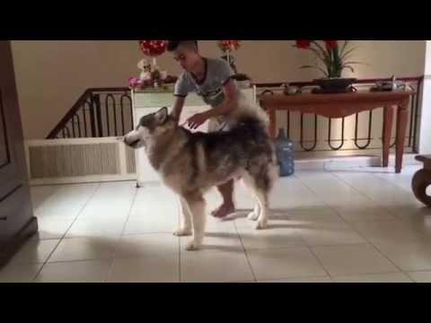 Dijual Anjing Alaskan Malamute Champion